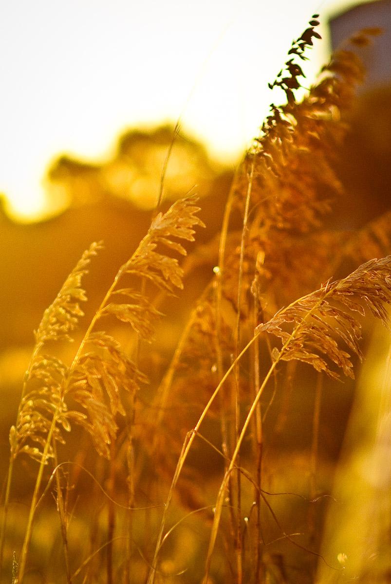 gold-oats